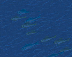 Fish Swarm (Bountiful)